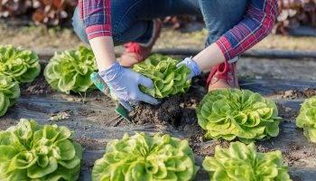 growing-lettuce